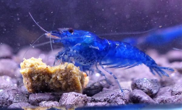 Blue Dream Garnele