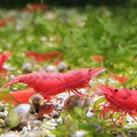 Red Sakura Garnele